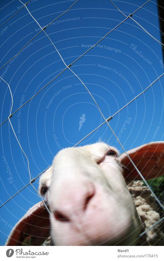 Mäh blau weiß Tier Neugier Tiergesicht Fell Zaun Schaf gefangen Schnauze Blauer Himmel Bildausschnitt Anschnitt Nutztier Wolkenloser Himmel gefräßig