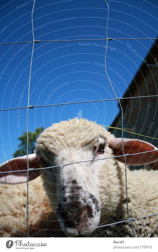 Mäh1 Schaf Zaun Wolle klein blau Himmel Schnauze Tierjunges Lamm Maschendrahtzaun Kopf zutraulich Neugier Schaffell Schafswolle Blick in die Kamera einzeln