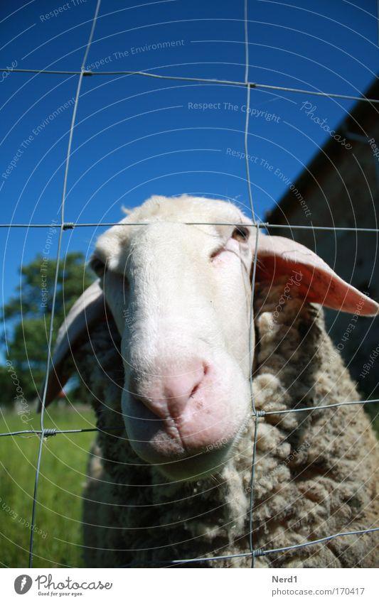 Mäh2 Schaf Tier Himmel blau Wolle Schnauze Zaun ländlich Menschenleer Tiergesicht Tierporträt 1 einzeln Blick in die Kamera Schafswolle Schaffell Neugier