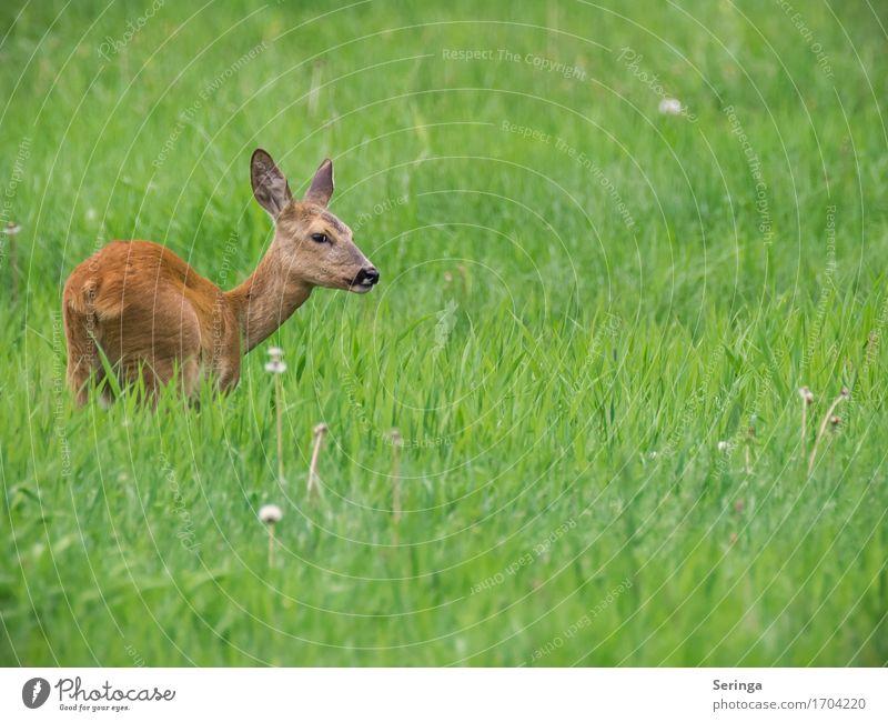 Scheues Reh Gras Tier Wildtier Tiergesicht Fell 1 Blick Rehauge Wiese Farbfoto mehrfarbig Außenaufnahme Menschenleer Textfreiraum rechts Textfreiraum unten Tag