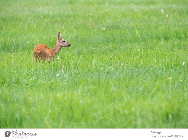 Das Reh ist los Natur Pflanze Tier Frühling Sommer Gras Feld Wald Wildtier Tiergesicht Fell Fährte 1 Fressen Rehauge Farbfoto mehrfarbig Außenaufnahme