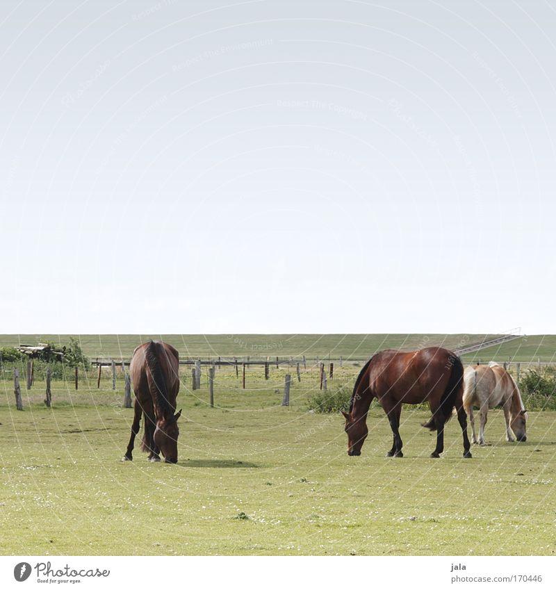 Dinner with three Horses Gedeckte Farben Außenaufnahme Tag Tierporträt Himmel Wiese Feld Nordsee Nutztier Pferd Fell 3 Fressen Zusammensein stehen groß blau