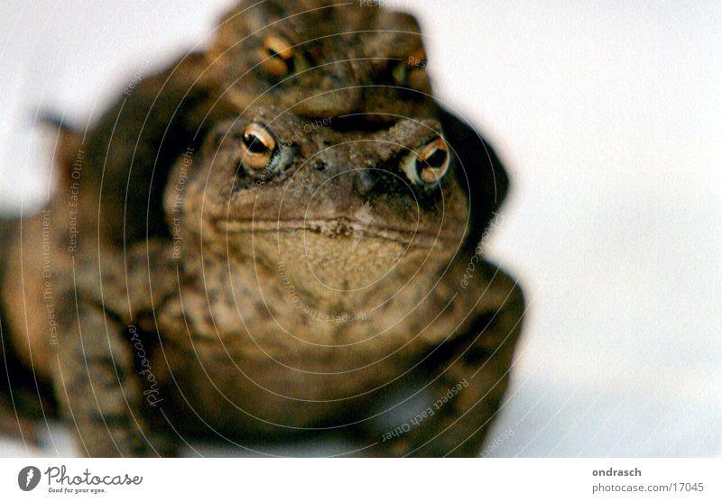 Frühlingsgefühle Fertilisation Zuneigung Nachkommen Tier Verkehr Kröte Frosch paarweise Tierpaar