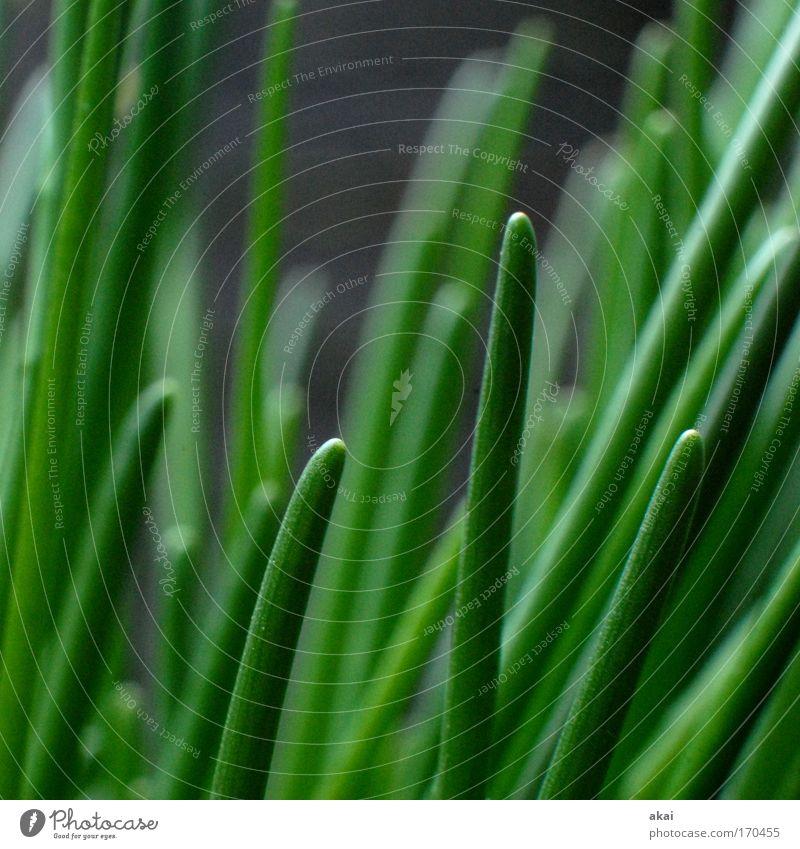 Grünzeug Farbfoto Außenaufnahme Nahaufnahme Makroaufnahme Morgen Schwache Tiefenschärfe Lebensmittel Kräuter & Gewürze Ernährung Grünpflanze Nutzpflanze Duft