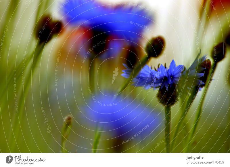 Wiese Farbfoto mehrfarbig Außenaufnahme Nahaufnahme Sommer Umwelt Natur Pflanze Blume Gras Wildpflanze Feld Wachstum Duft schön blau grün Lebensfreude Kornblume
