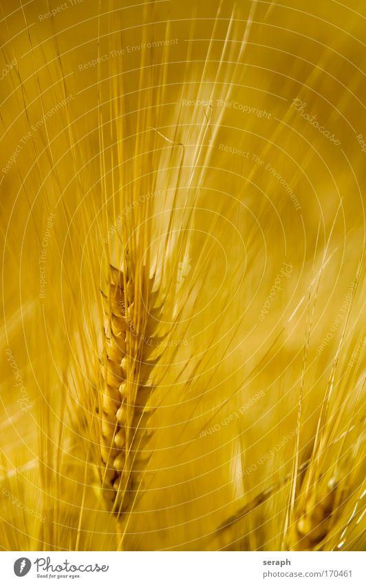 Fields of Gold Pflanze Wiese Landschaft Lebensmittel Wachstum Getreide Idylle Blühend Landwirtschaft Ackerbau Samen Grasland Weizen Futter