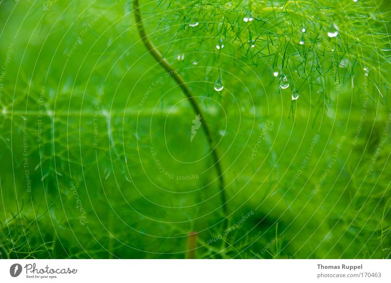 Tropfen Farbfoto Außenaufnahme Nahaufnahme Menschenleer Textfreiraum links Textfreiraum rechts Textfreiraum unten Umwelt Natur Pflanze Wasser Wassertropfen