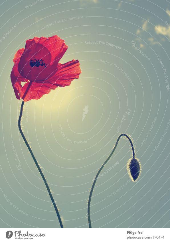 Sonnenbad Natur blau Sommer Pflanze Sonne rot Wärme Beleuchtung Wachstum Schönes Wetter Sonnenbad Mohn Stengel Wolkenloser Himmel Blütenknospen angenehm