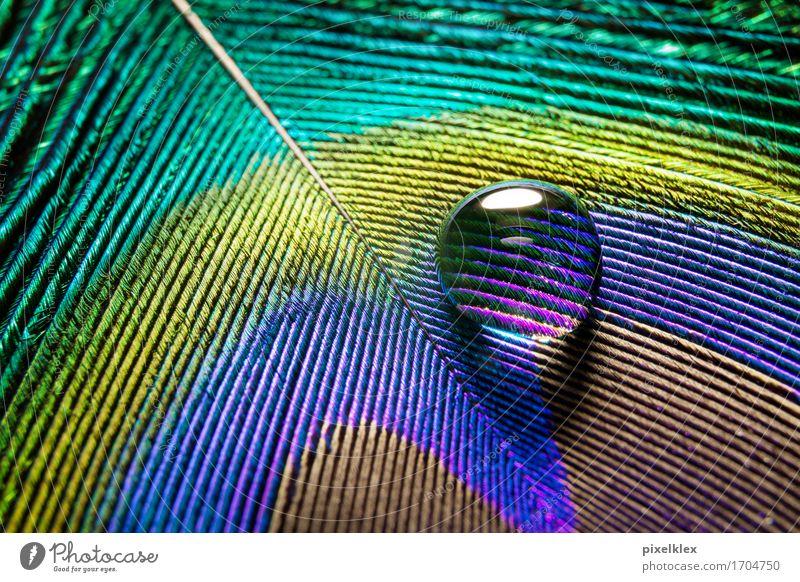 Wasserperle auf einer Pfauenfeder Natur Wassertropfen Regen exotisch Flüssigkeit glänzend schön klein nah nass natürlich weich braun gelb grün violett Feder