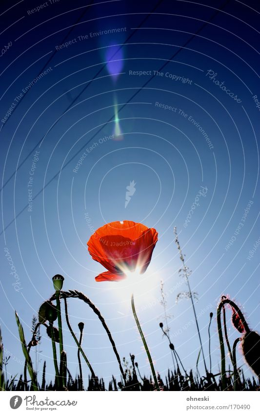 Beam me up Natur Himmel Sonne Blume blau Pflanze rot Sommer Blüte Zufriedenheit Feld glänzend Umwelt frisch Lebensfreude Blühend