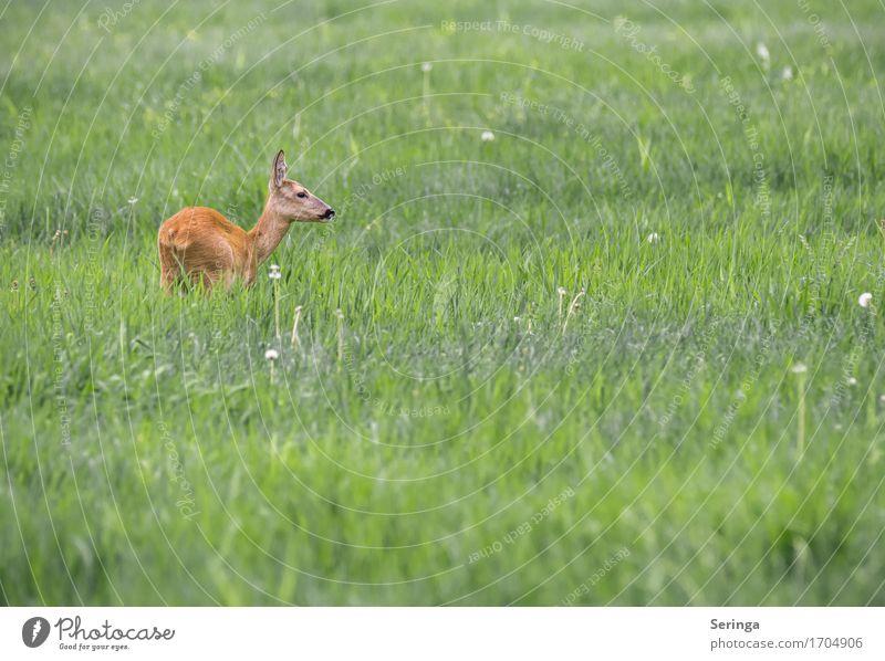 Scheues Reh Tier Wildtier Tiergesicht Fell Fährte 1 Bewegung Fressen springen Rehkitz Rehauge beobachten Farbfoto mehrfarbig Außenaufnahme Menschenleer