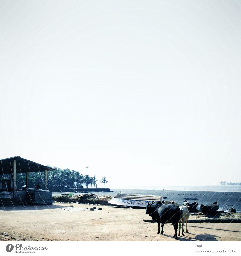 Just India Himmel Baum Meer blau Sommer Haus Tier Landschaft hell Küste Tierpaar Armut paarweise einfach Dorf Kuh