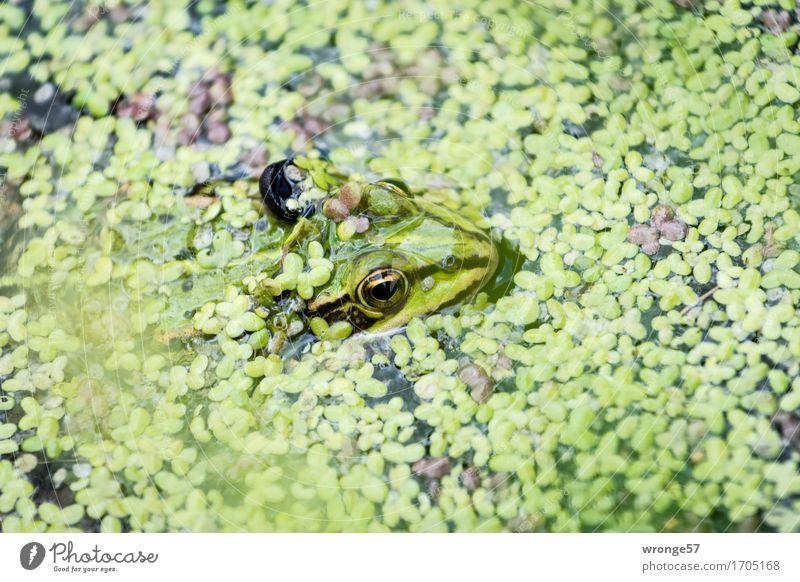 Abtauchen Natur Tier Wildtier Frosch Tiergesicht 1 nah wild grün schwarz Froschkönig Teich Bach Wasserlinsen Vorsicht achtsam Wachsamkeit Vogelperspektive