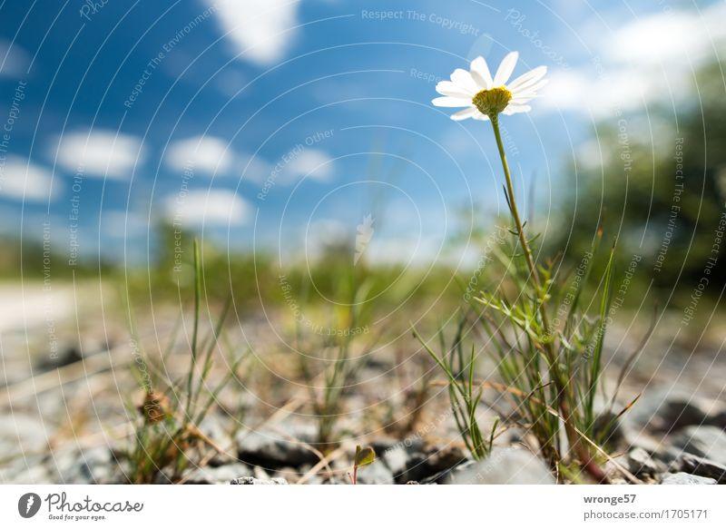 Am Wegesrand Umwelt Pflanze Himmel Wolken Horizont Sommer Schönes Wetter Blume Feld Wege & Pfade Fahrradweg Schotterweg klein blau braun grün weiß Wiesenblume
