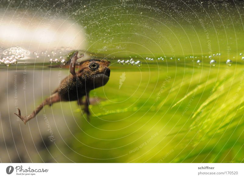 High Five Farbfoto Makroaufnahme Froschperspektive Umwelt Natur Tier Teich See Haustier gruselig klein grün Molch Kaulquappe Kröte Wasseroberfläche Begrüßung
