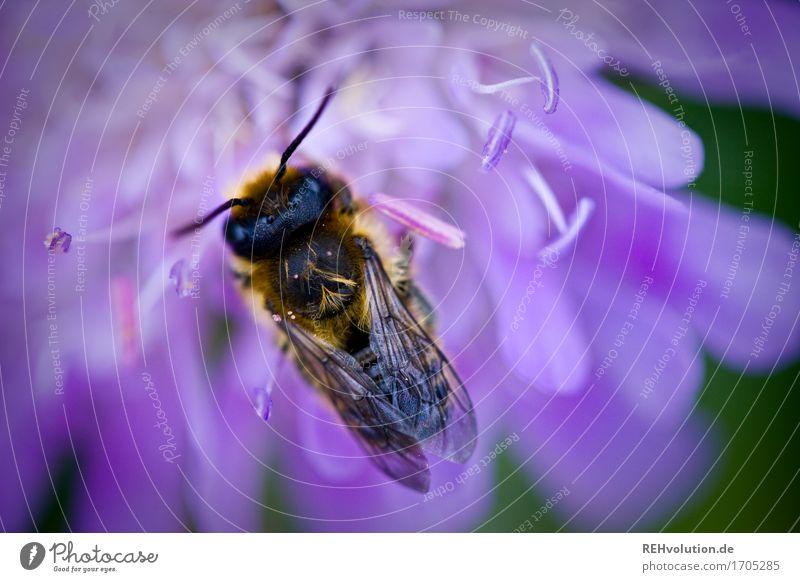 summsumm2 Umwelt Natur Pflanze Blume Blüte Tier Nutztier Biene 1 klein violett Umweltverschmutzung Umweltschutz Insekt Farbfoto Außenaufnahme Nahaufnahme