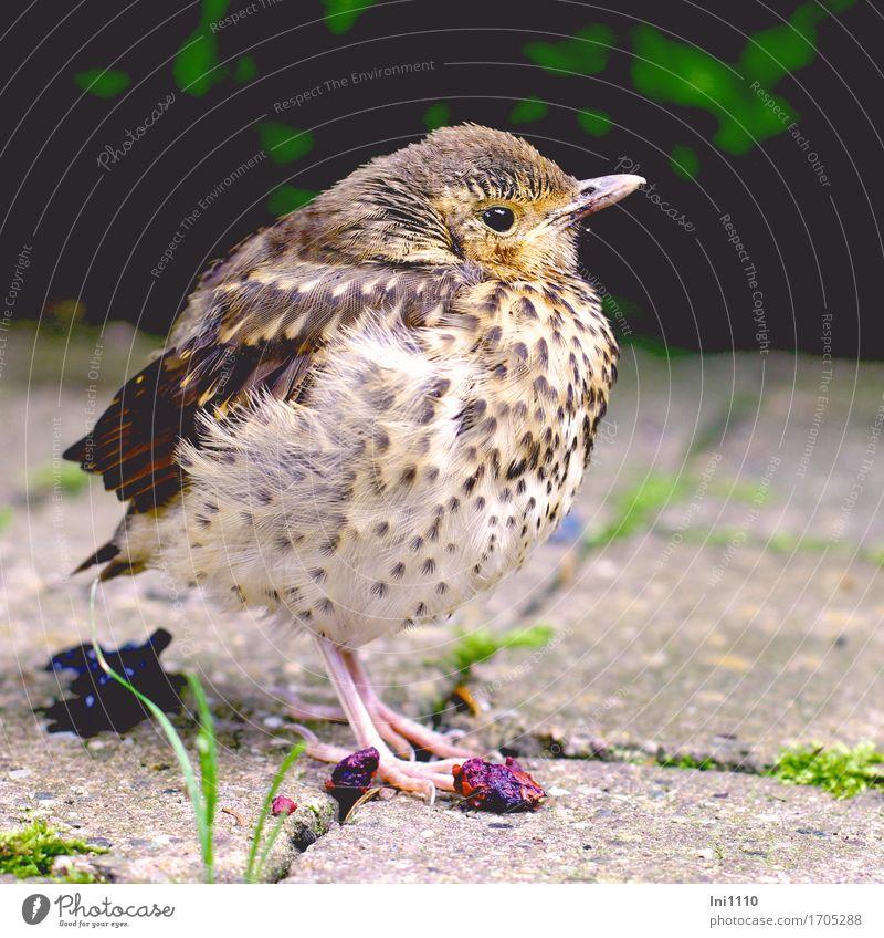 Küken Tier Erde Sonnenlicht Frühling Schönes Wetter Gras Moos Garten Park Wildtier Vogel Tiergesicht Flügel Krallen Amsel 1 Tierjunges niedlich blau braun