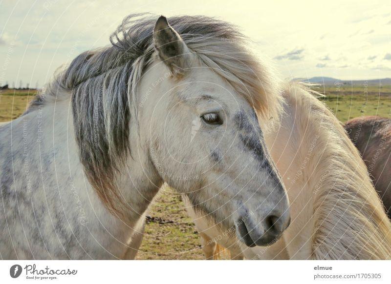 Apfelschimmel Island Pferd Tiergesicht Isländer Island Ponys Schimmel Mähne Ohr Nüstern Blick stehen ästhetisch Neugier weiß Glück Zufriedenheit Kraft Romantik