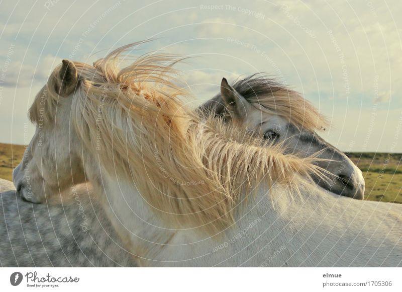 Fellpflege Island Pferd Mähne Island Ponys Isländer Fellfarbe Schimmel Kleinpferd Tierpaar authentisch Zusammensein Glück schön weiß Zufriedenheit Lebensfreude