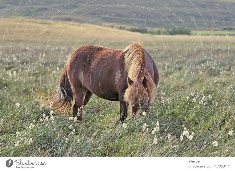 weites Land Ferien & Urlaub & Reisen Freiheit Natur Wiese Weide Island Pferd Island Ponys Isländer Mähne Fell Fellfarbe Schwanz Fressen ästhetisch Originalität