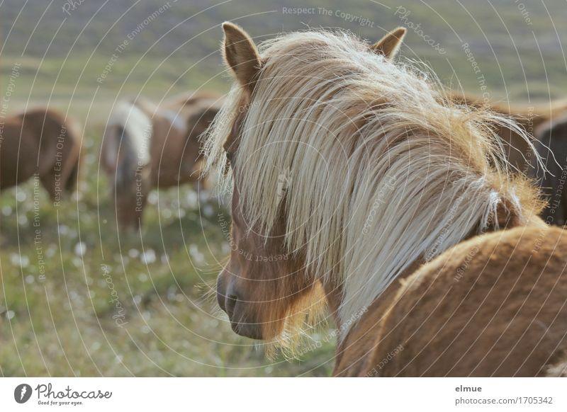 Isländer Ferien & Urlaub & Reisen Freiheit Island Weide Nutztier Pferd Island Ponys Mähne Fell Fellfarbe Ohr Nüstern Blick stehen schön Zufriedenheit Kraft