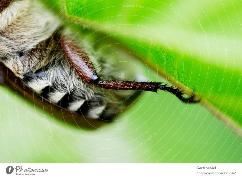 Maikäfer im Juni Natur weiß grün Pflanze Sommer Blatt schwarz Tier Wiese Frühling Beine braun Umwelt Insekt Streifen Fell