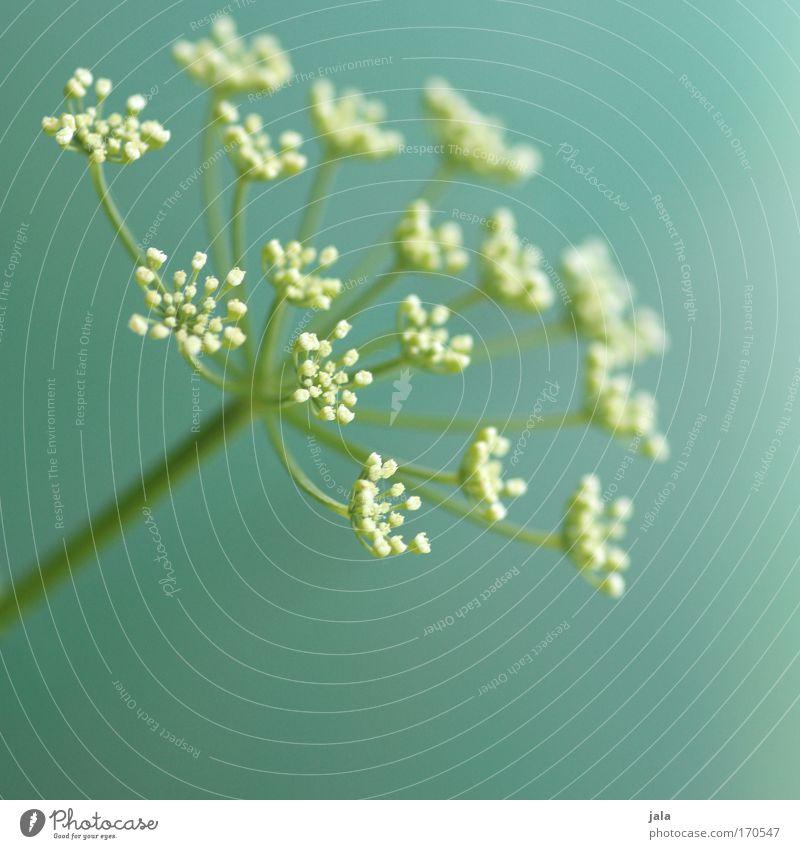 Echos of Spring IV Natur weiß Blume grün Pflanze Wiese Blüte Frühling Park zart türkis Frühlingsgefühle Heilpflanzen Wildpflanze Unkraut Kerbel