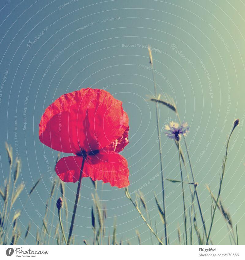 Honeymohn Natur Pflanze Schönes Wetter Gras schön Mohnblüte Kornblume rot türkis Sonne Sommer Wachstum Sonnenbad Wärme hoch Himmel Stengel Farbfoto mehrfarbig