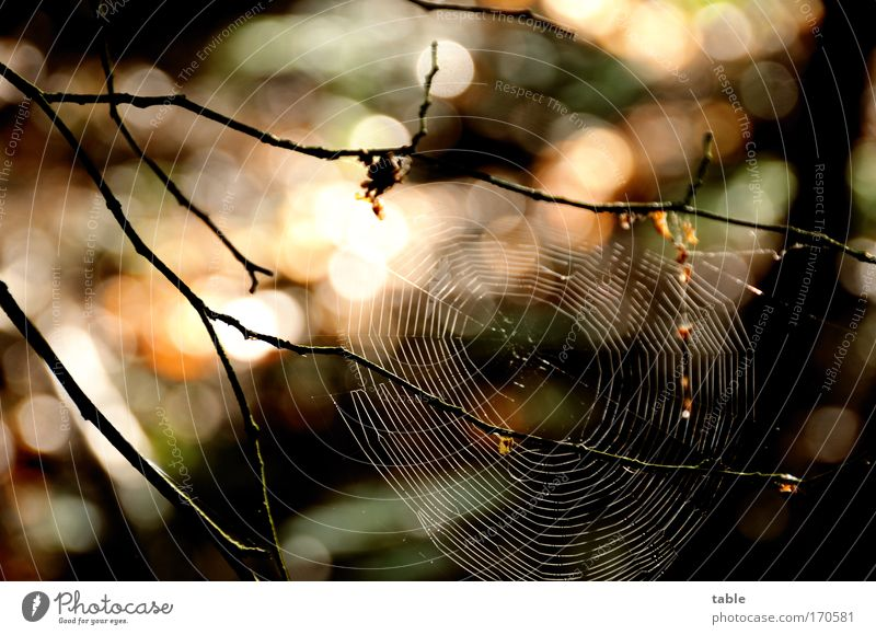 Fallenstellerin Farbfoto Reflexion & Spiegelung Sonnenlicht Umwelt Natur Landschaft Pflanze Tier Baum Wildtier Spinne bauen beobachten fangen ästhetisch braun