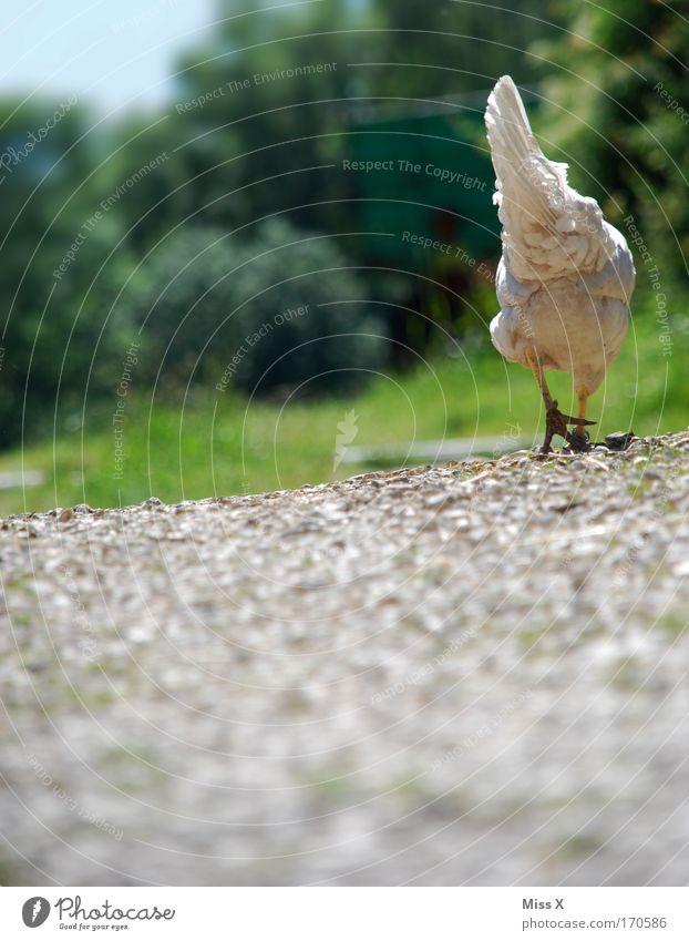 ich leg jetzt ein Ei Farbfoto Außenaufnahme Schwache Tiefenschärfe Froschperspektive Rückansicht Natur Erde Gras Wege & Pfade Nutztier Vogel Flügel 1 Tier