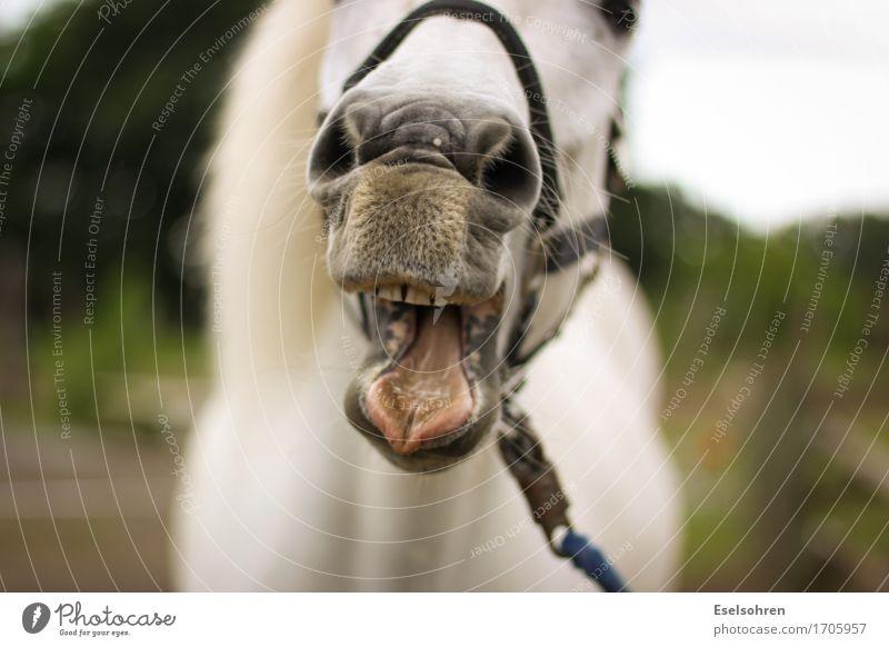 Huh! Reiten Nase Mund Zähne Wiese Tier Nutztier Pferd Tiergesicht Fell 1 Fressen füttern lachen eckig lustig wild Freude Fröhlichkeit Lebensfreude Tierliebe