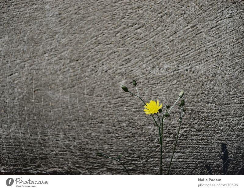 Flower vor einer Mauer Pflanze Wand Blüte Frühling Traurigkeit Blume Beton berühren Blühend Löwenzahn
