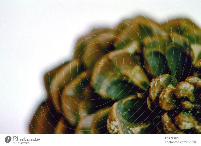 Zapfen Pinie dick Baum Fortpflanzung Dinge Harz Makroaufnahme Samen Natur Kiefernzapfen