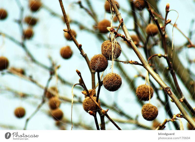 Bommelbaum Natur Himmel Baum kalt Erholung Frühling Holz braun Ast natürlich trocken hängen Blattknospe Quaste