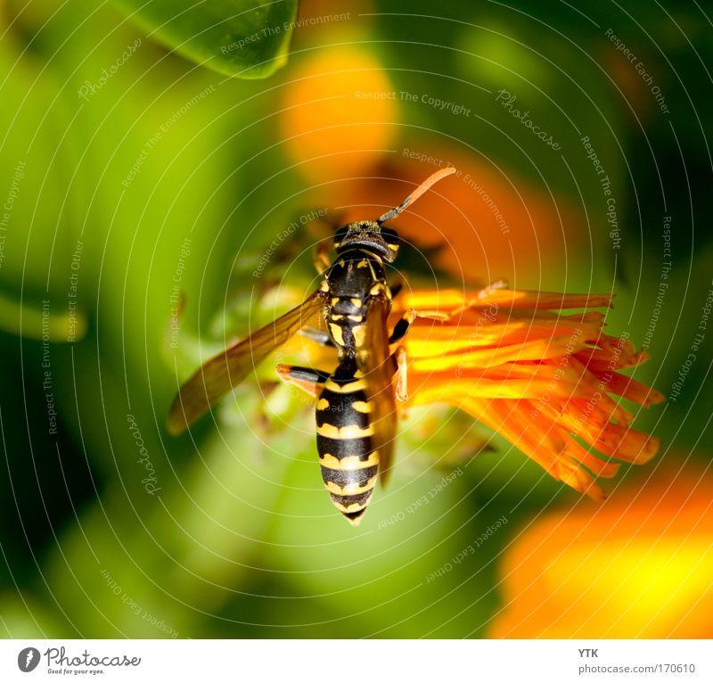 Neulich im Nektarsupermarkt Natur grün Pflanze Sommer Blume Tier Erholung Wärme Blüte orange fliegen ästhetisch Pause Flügel weich berühren