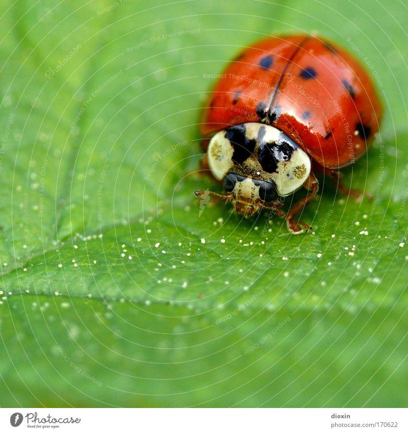 Migrations-Mariechen (Harmonia axyridis) Natur grün rot Pflanze Tier schwarz Umwelt Wiese klein Park Insekt Käfer hocken
