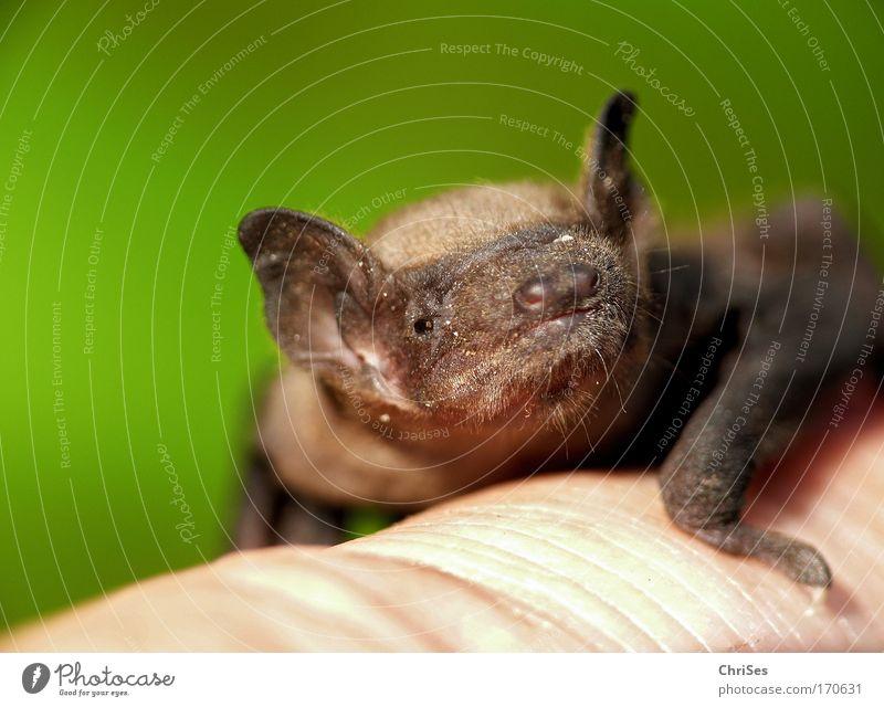 Zwergfledermaus_01 Natur grün Auge Tier grau braun Angst fliegen Tiergesicht Flügel Fell gruselig Neugier Wildtier Geruch hängen
