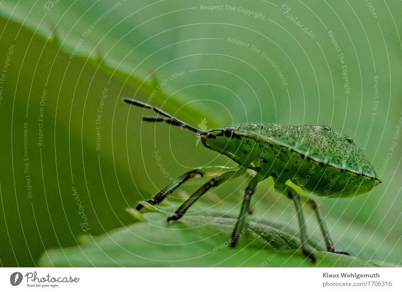Breitseite Umwelt Natur Pflanze Blatt Park Wiese Wald Tier Käfer Stinkwanze Nymphe 1 hocken sitzen warten grün schwarz Facettenauge Fühler Farbfoto