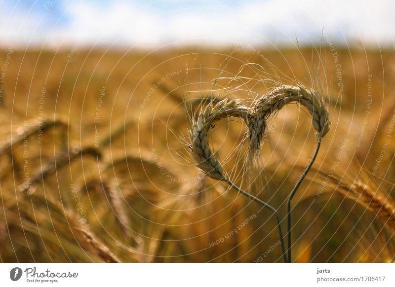 herzlich Getreide Umwelt Natur Himmel Wolken Sommer Schönes Wetter Pflanze Nutzpflanze Feld Herz authentisch Gesundheit natürlich Umweltschutz Gerste ökologisch