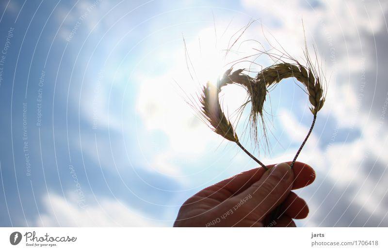 lieb haber Getreide Himmel Wolken Sonne Sonnenlicht Sommer Schönes Wetter Pflanze Nutzpflanze Herz Liebe Natur Hand Gerste Farbfoto Außenaufnahme Nahaufnahme