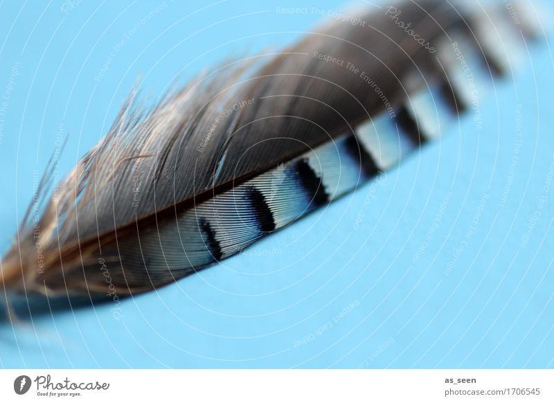 Vogelfederblau Design exotisch harmonisch Sinnesorgane Umwelt Natur Eichelhäher Feder liegen ästhetisch authentisch nah natürlich weich grau schwarz weiß