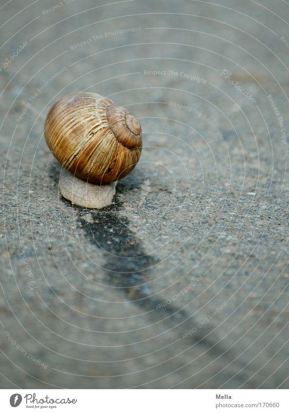 Schnell weg! Natur Tier Straße Wege & Pfade Geschwindigkeit Asphalt Spuren Flucht Schnecke krabbeln langsam schleimig Schneckenhaus flüchten Schleim Schleimer