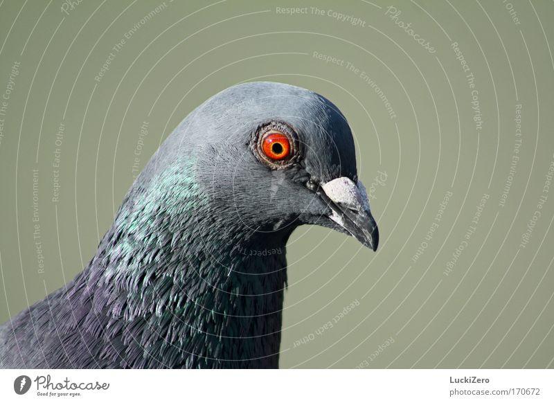 Ich glaub ich seh Rot! grün rot Tier Auge grau Luft Vogel fliegen Luftverkehr Wildtier Flügel Feder beobachten Tiergesicht nah Ekel