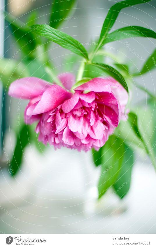 Pfingstrose schön Blume grün Pflanze Stil Blüte Wohnung rosa Rose Dekoration & Verzierung Häusliches Leben Innenarchitektur Blühend edel Stauden Vase