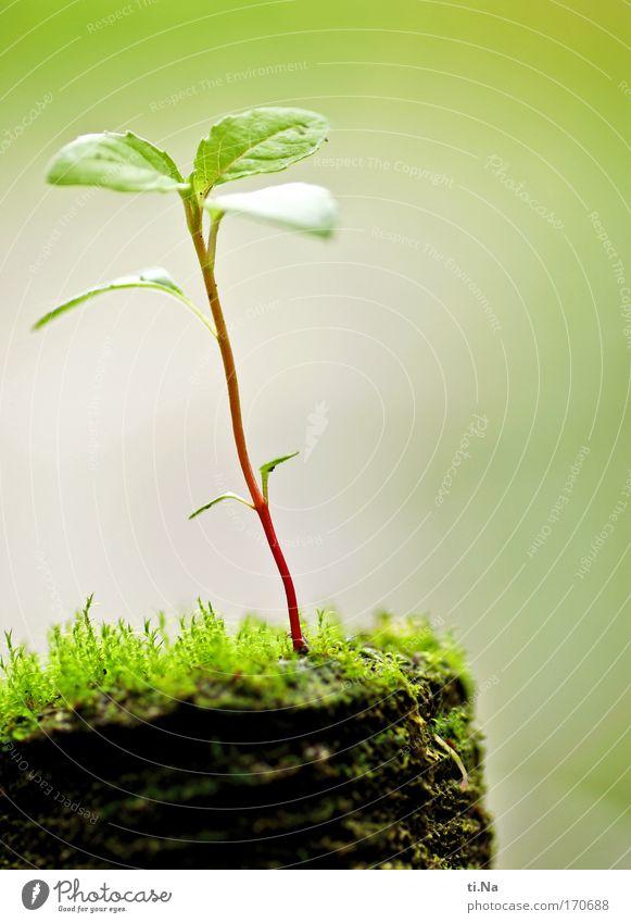 wenn ich mal groß bin Garten Gartenarbeit Umwelt Natur Erde Frühling Pflanze Moos Wachstum dünn authentisch klein natürlich wild braun grün rot Leben Setzling