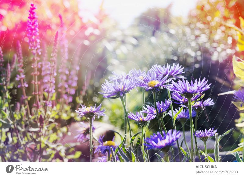 Sommer, Garten mit rosa und lila Blumen Lifestyle Design Natur Landschaft Pflanze Sonnenlicht Herbst Schönes Wetter Gras Blatt Blüte Park gelb Blumenwiese