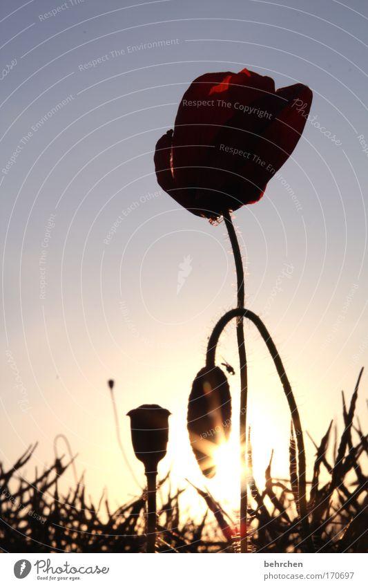 wer sieht die fliege? Farbfoto Außenaufnahme Dämmerung Sonnenstrahlen Sonnenaufgang Sonnenuntergang Gegenlicht Wolkenloser Himmel Pflanze Blume Mohn Mohnblüte