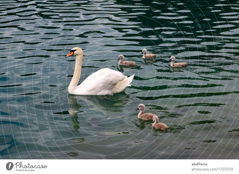 Swan and its offspring Natur Tier Wasser Wellen See Bled Schwan Tiergruppe Tierjunges Tierfamilie Schwimmen & Baden tauchen schön blau grau türkis weiß