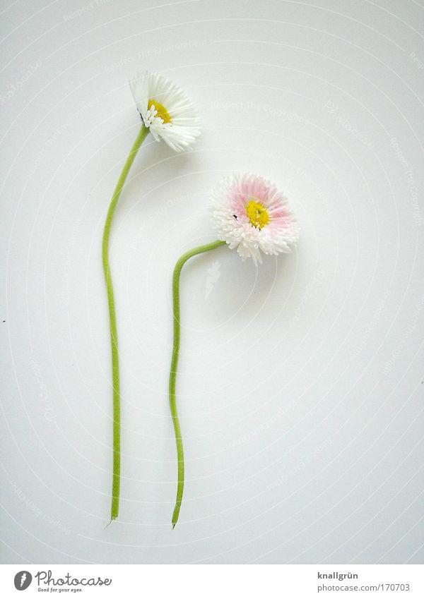 Du treibst mir die Schamesröte ins Gesicht schön weiß grün Pflanze Sommer gelb Blüte Frühling rosa Stengel Blühend Blume Gänseblümchen Pastellton gepflückt