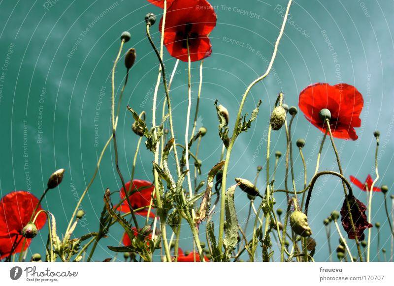 klatsch für den mohn Farbfoto mehrfarbig Außenaufnahme Textfreiraum links Tag Kontrast Sonnenlicht Froschperspektive Umwelt Natur Pflanze Tier Himmel Wolken